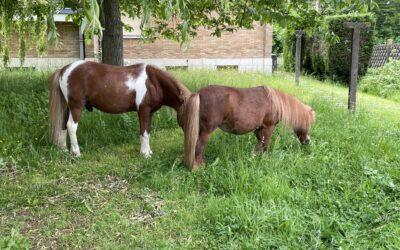 Des poneys à la Clinique !